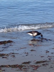A very-much-alive brant goose, munching on eelgrass
